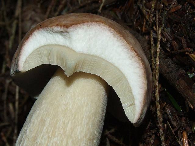 Мякоть белого гриба