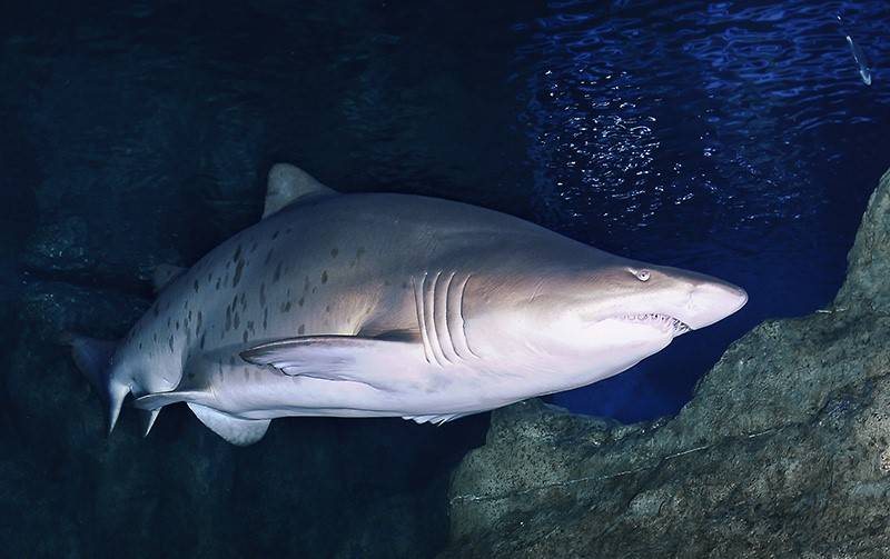 Обыкновенная песчаная акула (лат. Carcharias taurus)