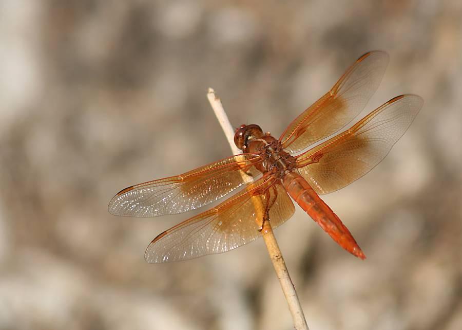 Оранжевая стрекоза