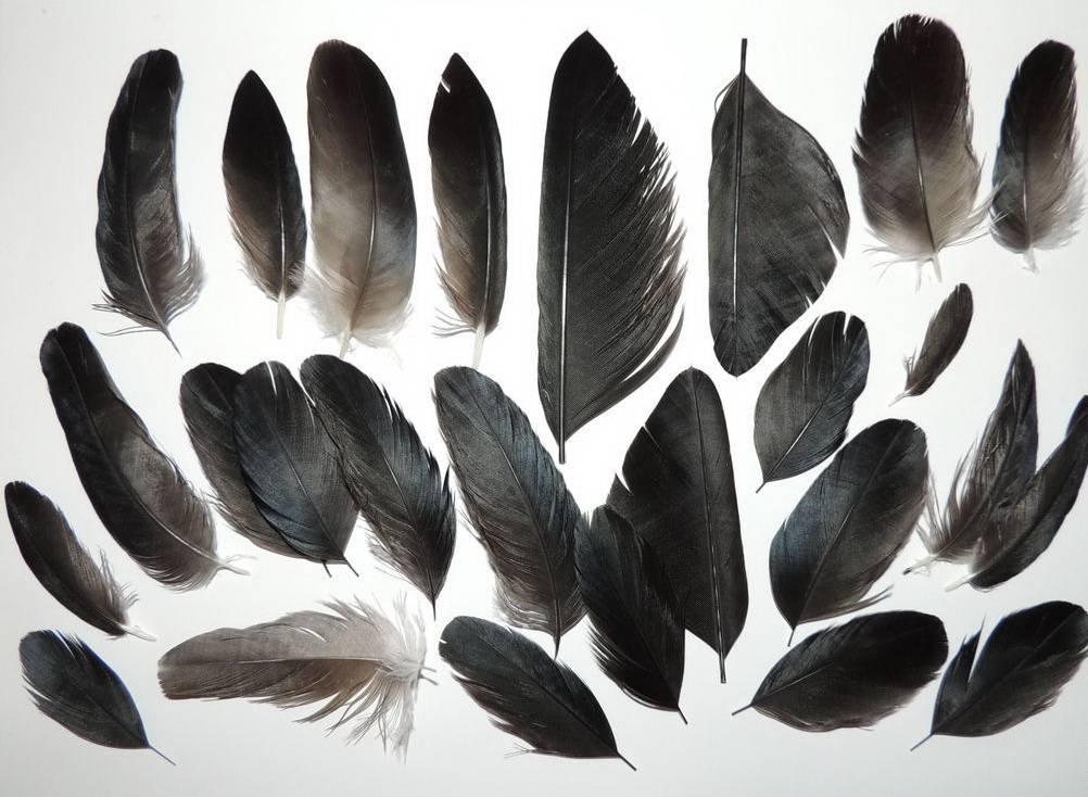 Перо вороны