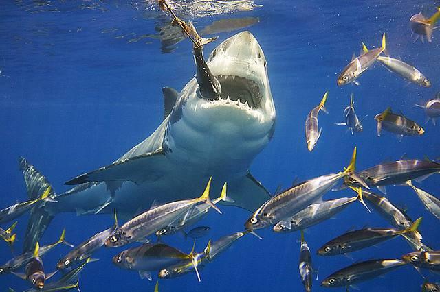Пища акул