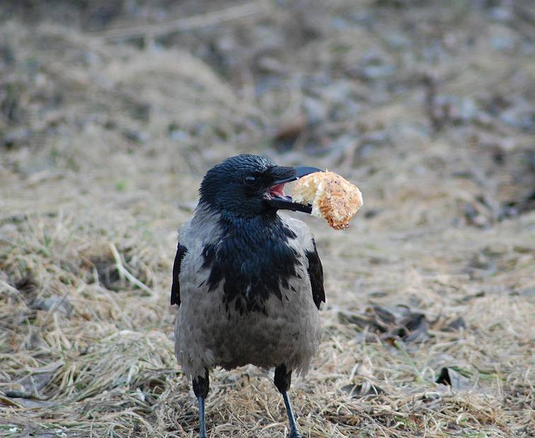 Пища вороны