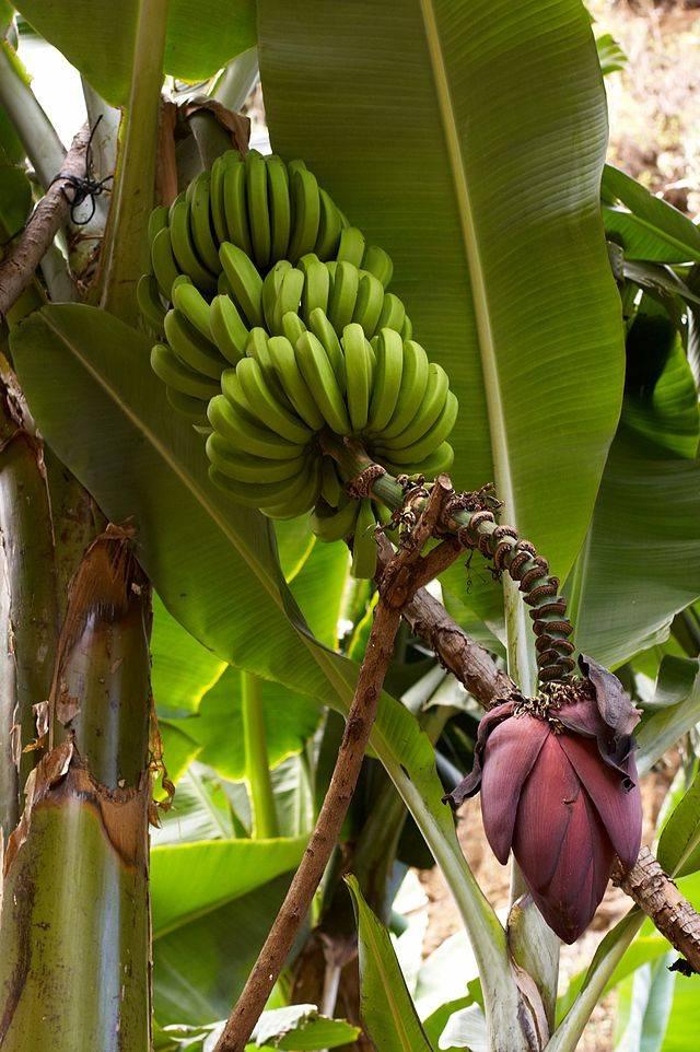 Плоды заостренного банана