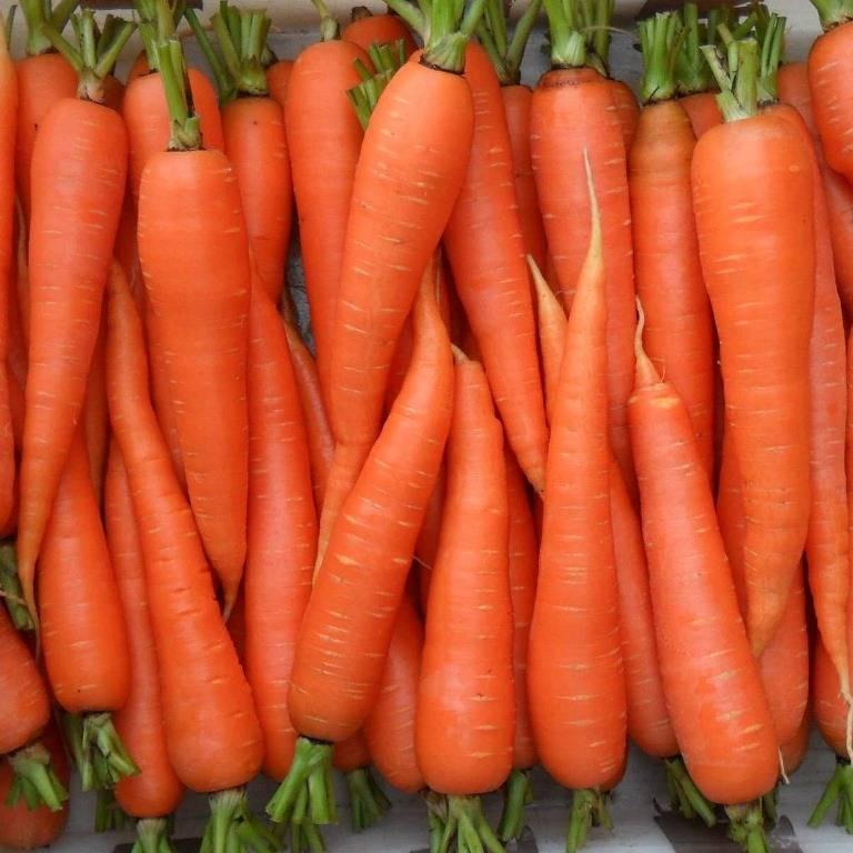 Поздняя морковь «Королева осени»