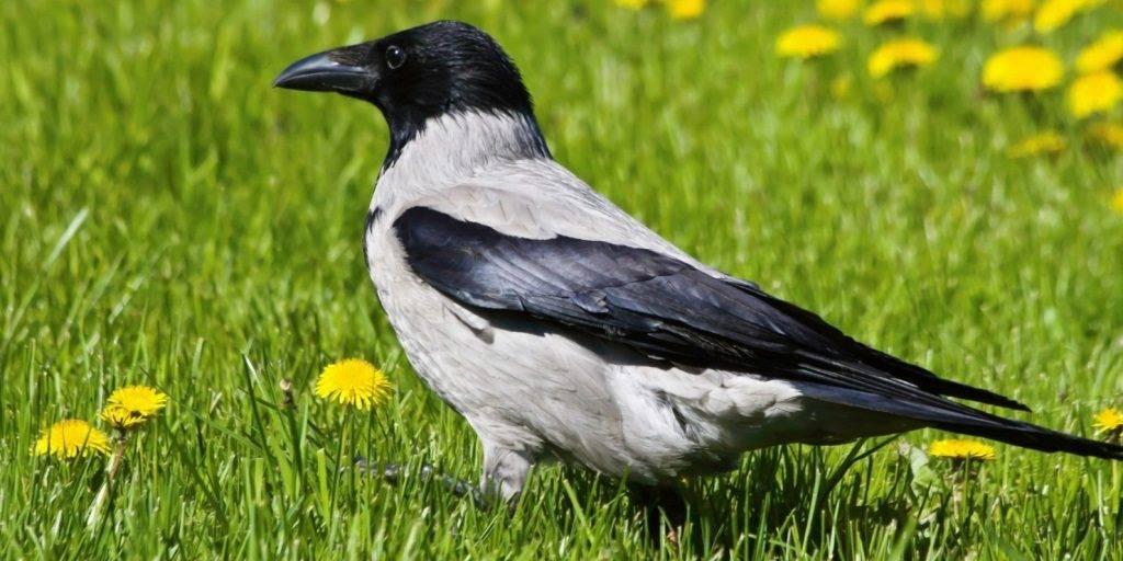 Самец серой вороны фото