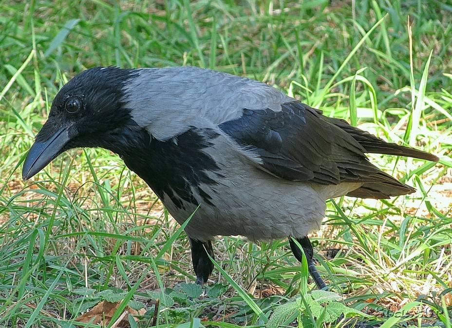 Серая ворона фото (лат. Corvus cornix)