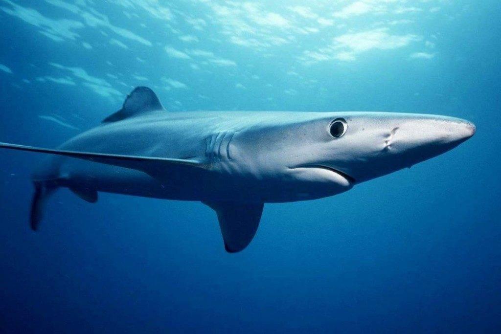 Синяя (голубая) акула (лат. Prionace glauca)
