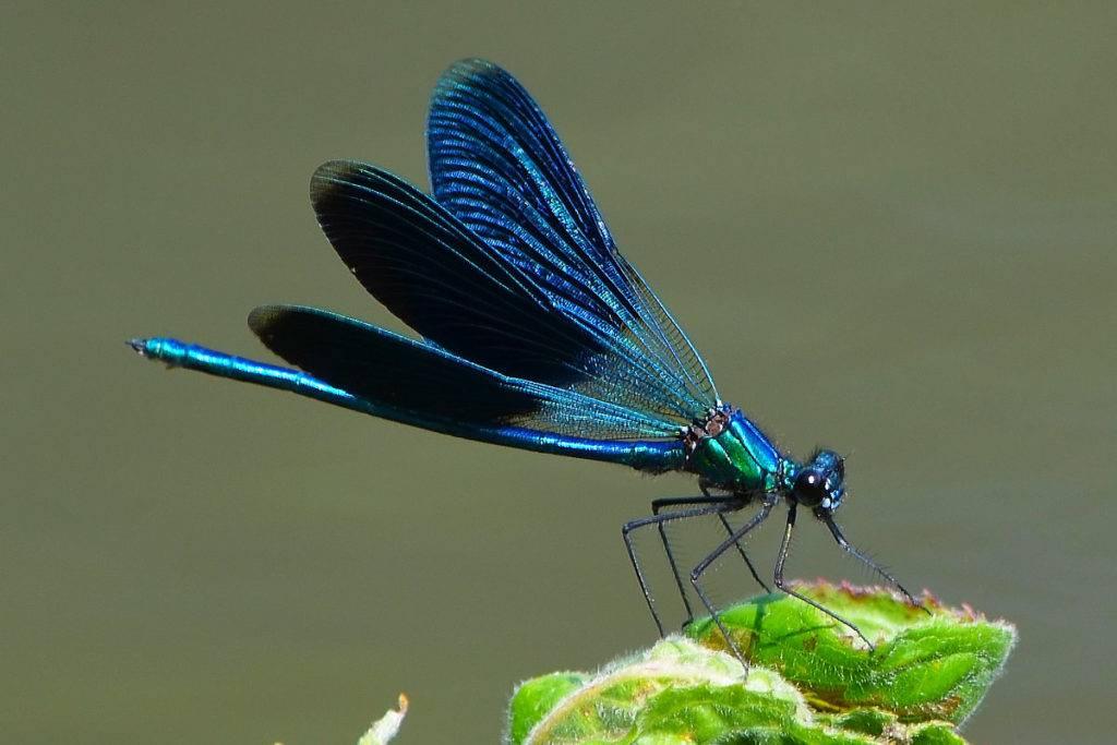 Синяя стрекоза Блестящая красотка Calopteryx splendens