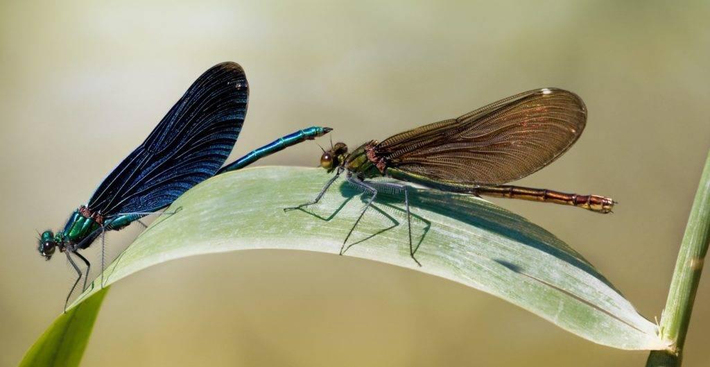 Синяя стрекоза Красотка-девушка (самец слева, самка справа)