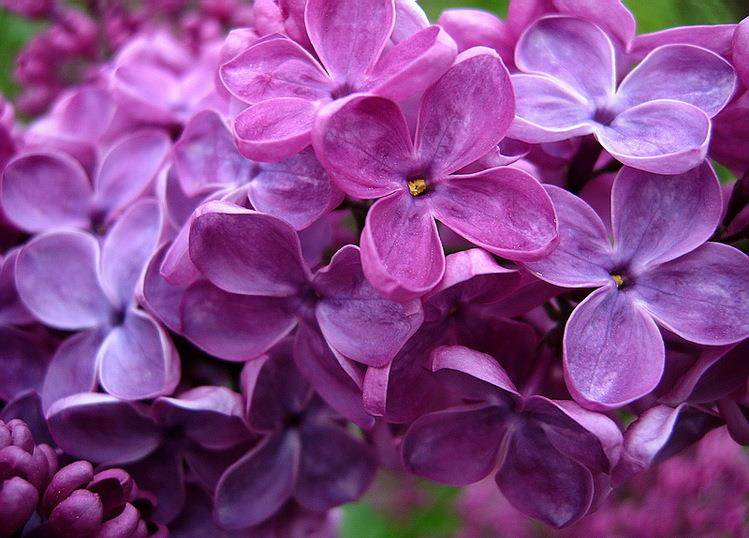 Сирень фото цветов
