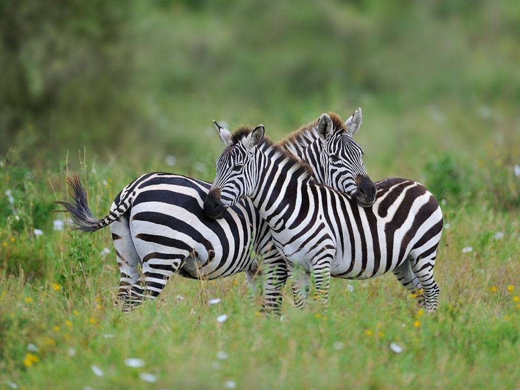 Слева самец зебры, справа самка зебры