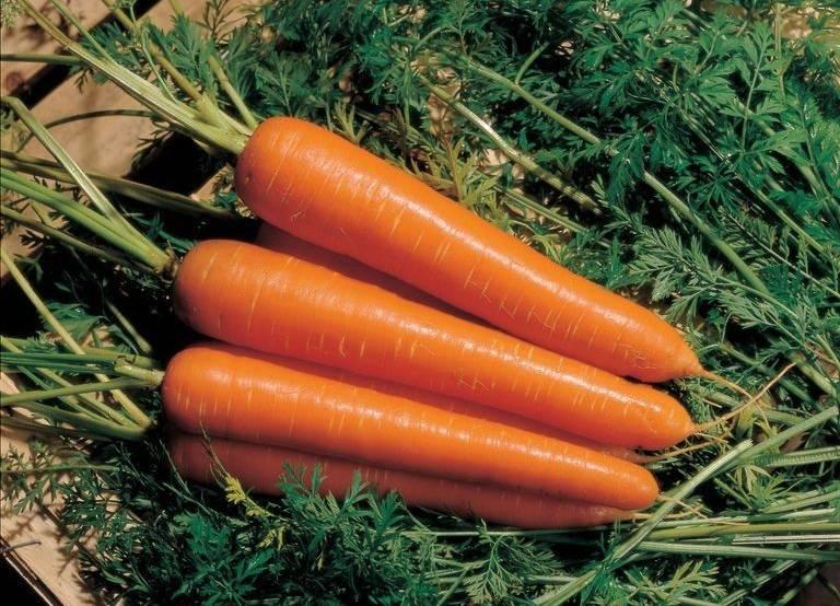 Сорт моркови «Флаккоро»