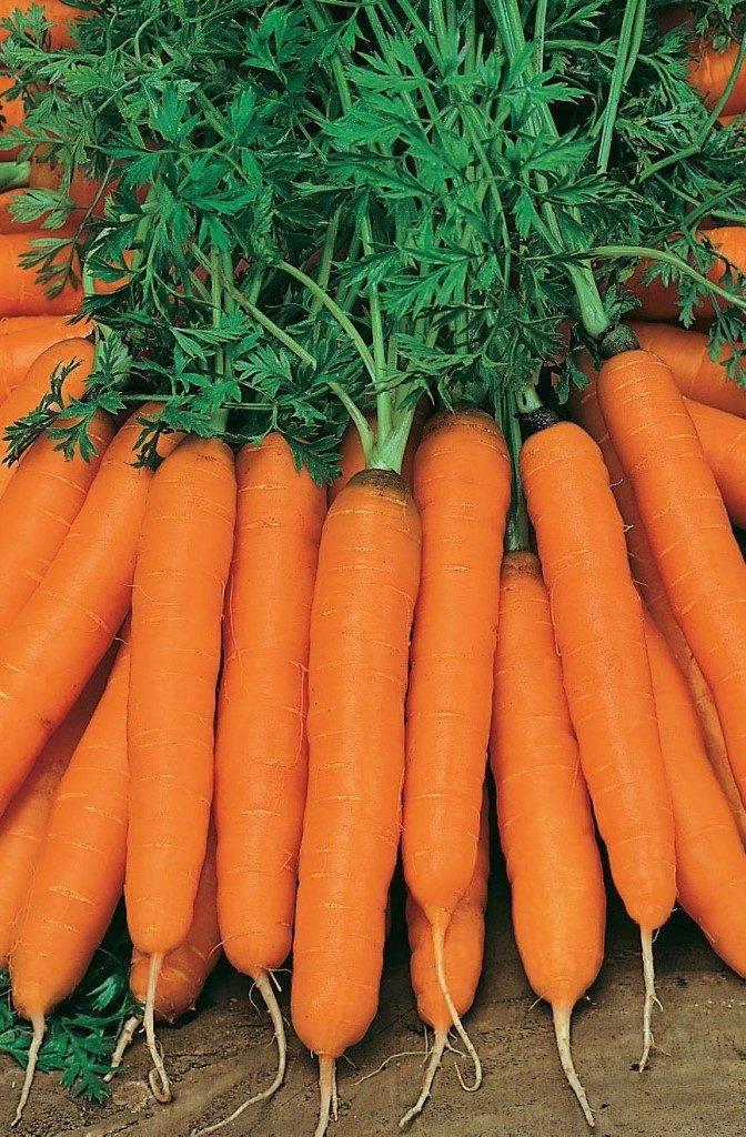 Сорт ранней моркови «Амстердамская»