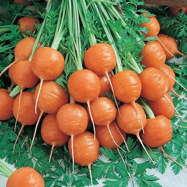 Сорт ранней моркови «Парижская Каротель»
