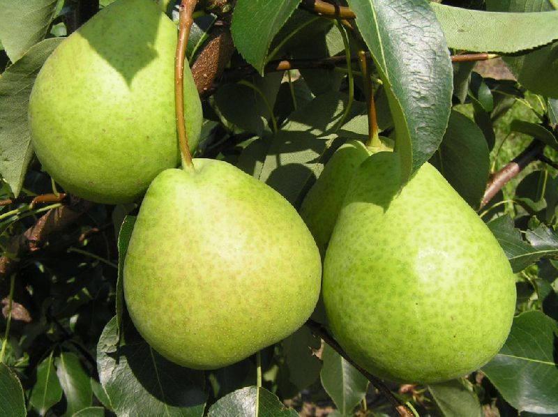 Сорт сладких груш Есенинская