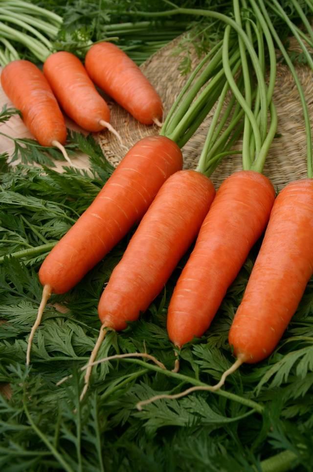 Среднеспелая морковь «Красный великан»