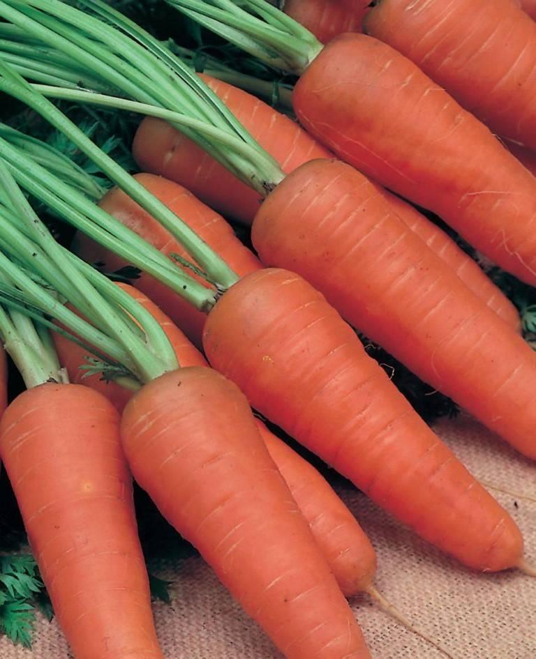 Среднеспелый сорт моркови «Шантанэ»