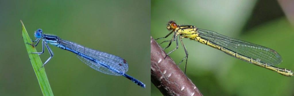 Стрекоза Стрелка южная - слева самец, справа самка