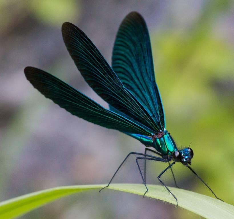 Стрекоза с синими крыльями Красотка-девушка или красотка тёмнокрылая (лат. Calopteryx virgo)