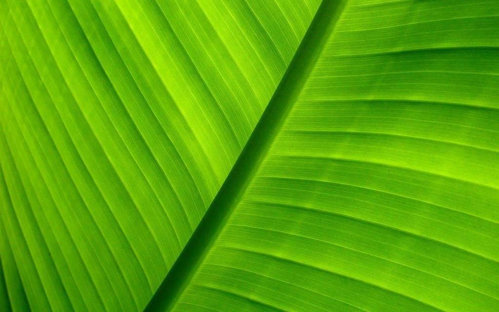 Строение листа банана
