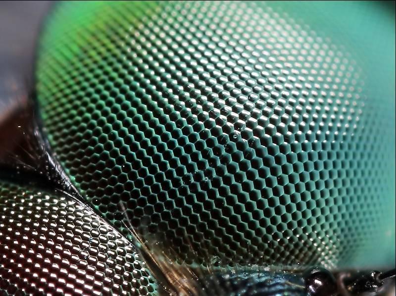 Структура глаз стрекозы