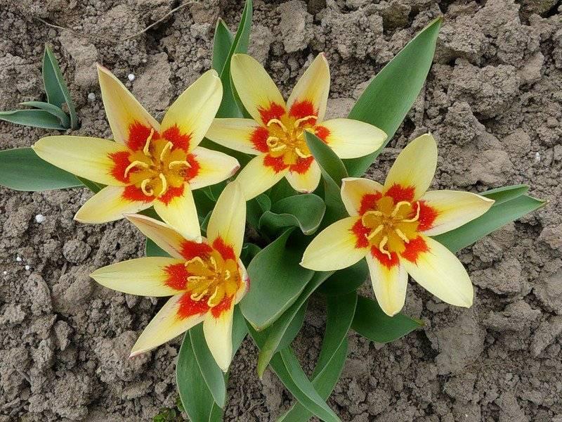 Тюльпаны Кауфмана сорт Корона фото