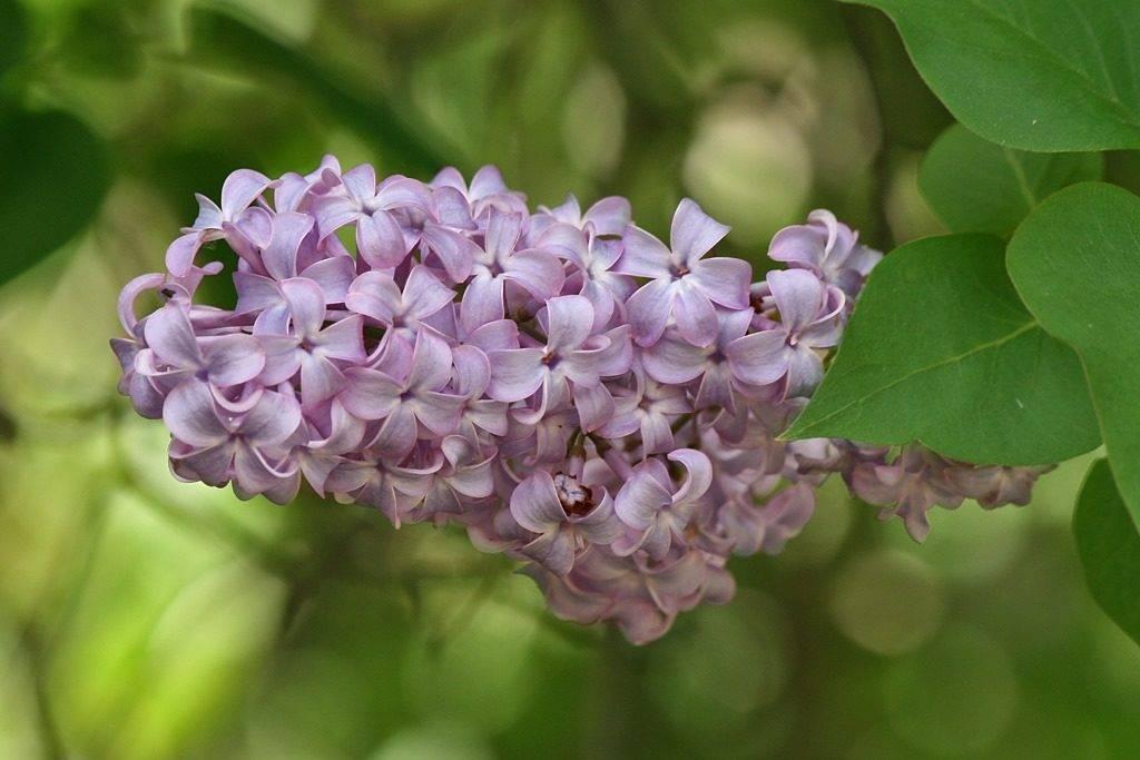 Цветы сирени фото