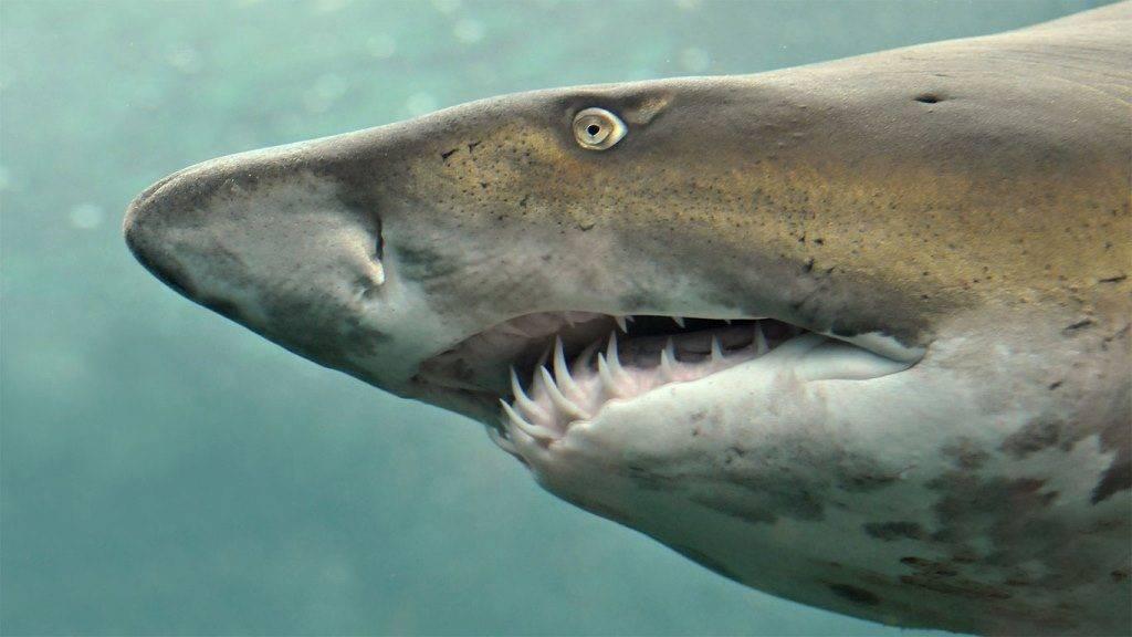 Челюсти акулы фото