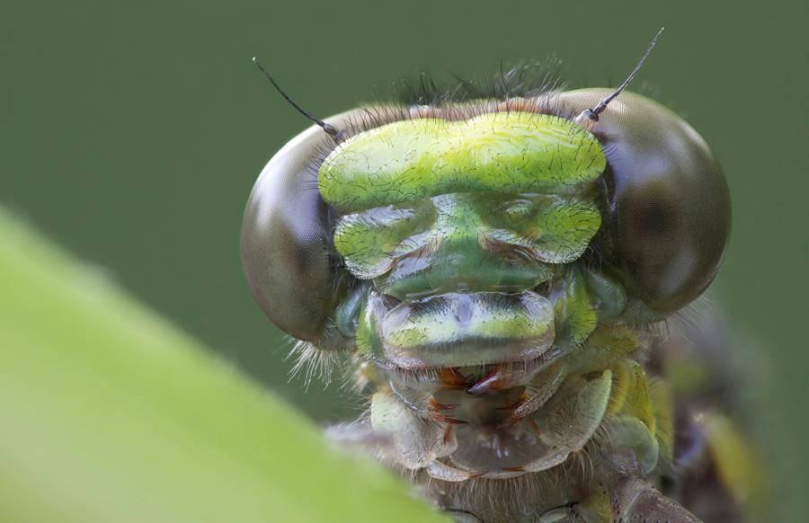 Челюсти стрекозы фото
