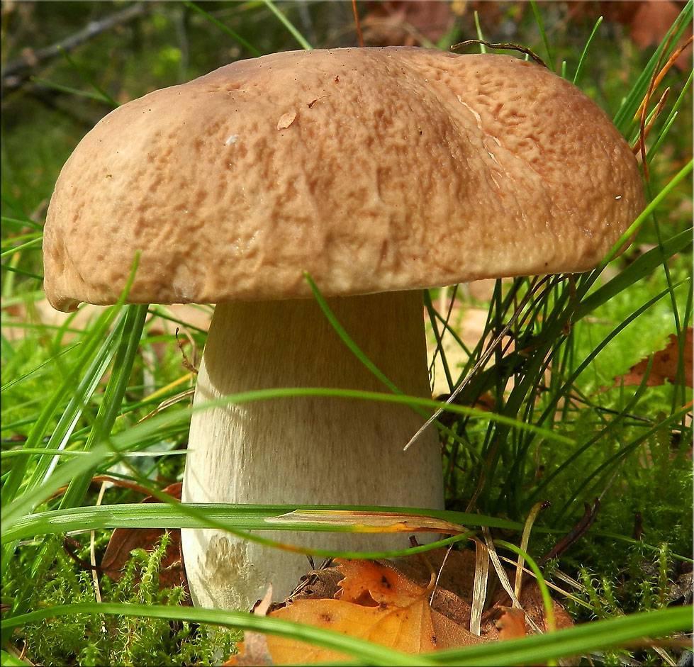 Шляпка белого гриба фото