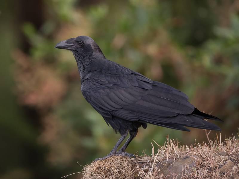 Щетинистая ворона (лат. Corvus rhipidurus)