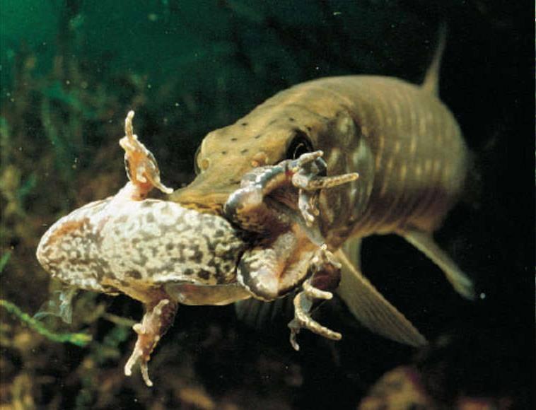 Щука ест лягушку