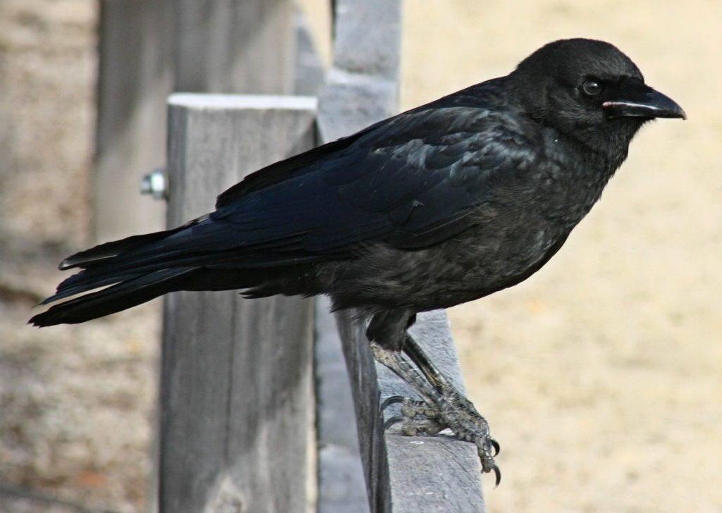 Южноавстралийская ворона (лат. Corvus mellori)