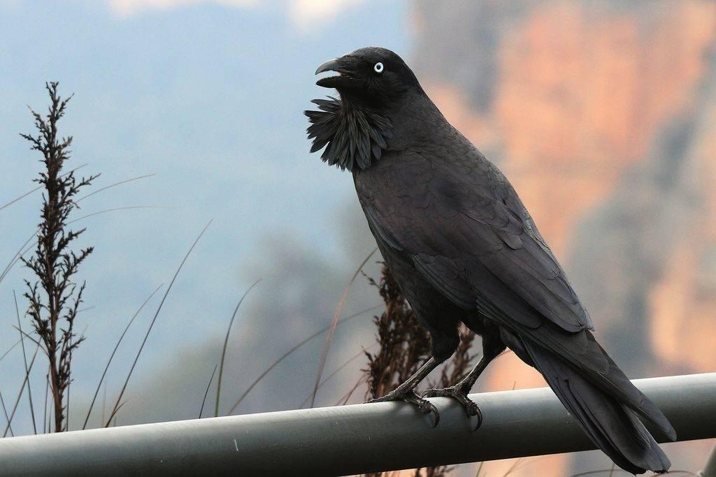 Австралийская ворона (лат. Corvus coronoides)