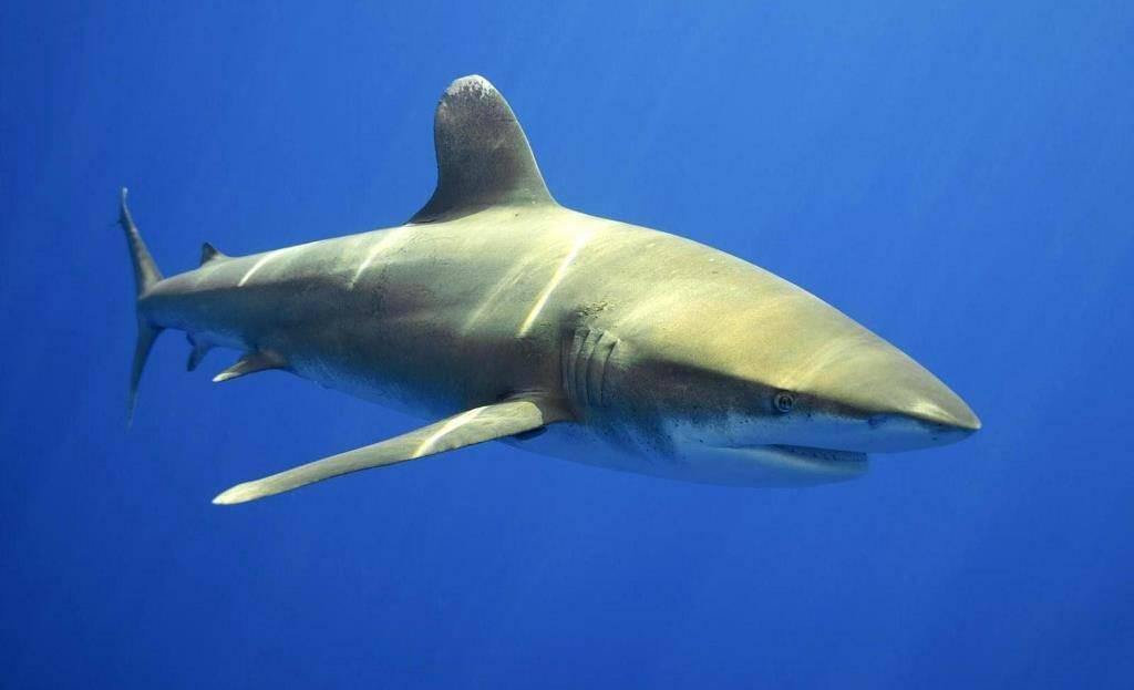 Акула-бык или серая бычья, тупорылая акула (лат. Carcharhinus leucas)