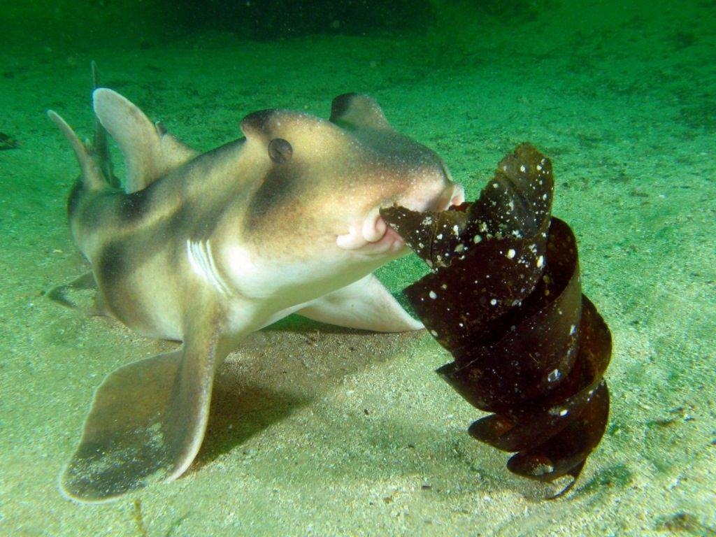 Акула с яйцом