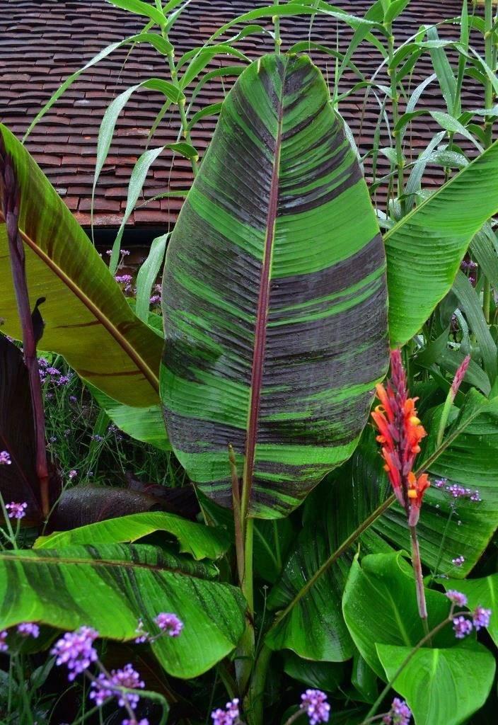 Банан дарджилингский (лат. Musa sikkimensis)