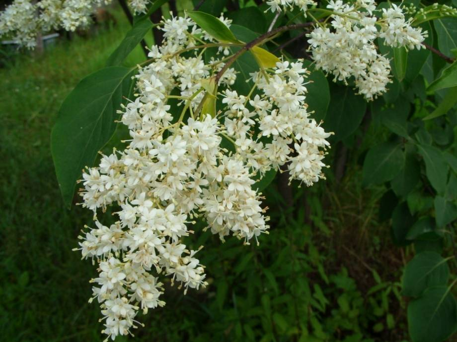 Белая амурская сирень фото (Syringa amurensis)