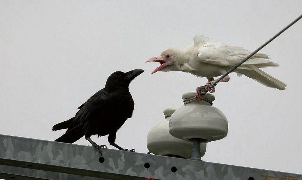 Белая и черная ворона