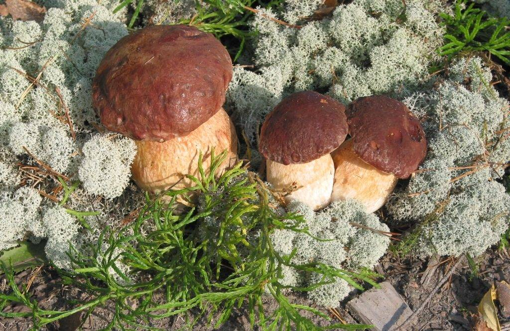 Белый гриб сосновый (лат. Boletus pinophilus)