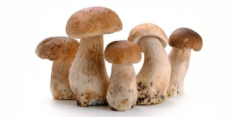 Фото грибов на белом фоне