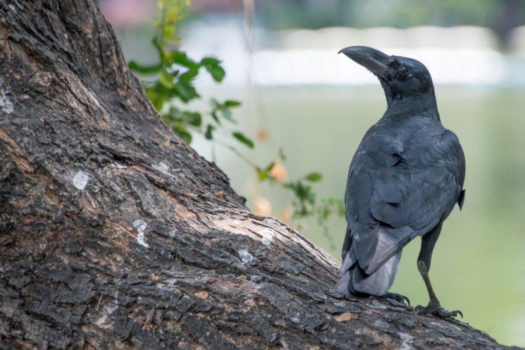 Большеклювая ворона (лат. Corvus macrorhynchos)