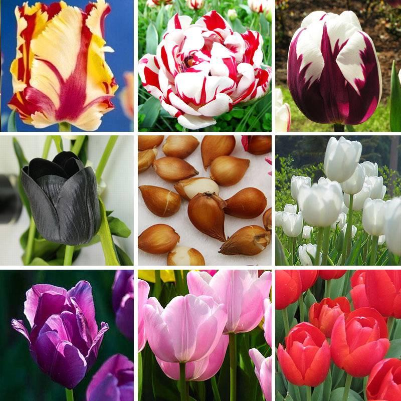Виды тюльпанов фото