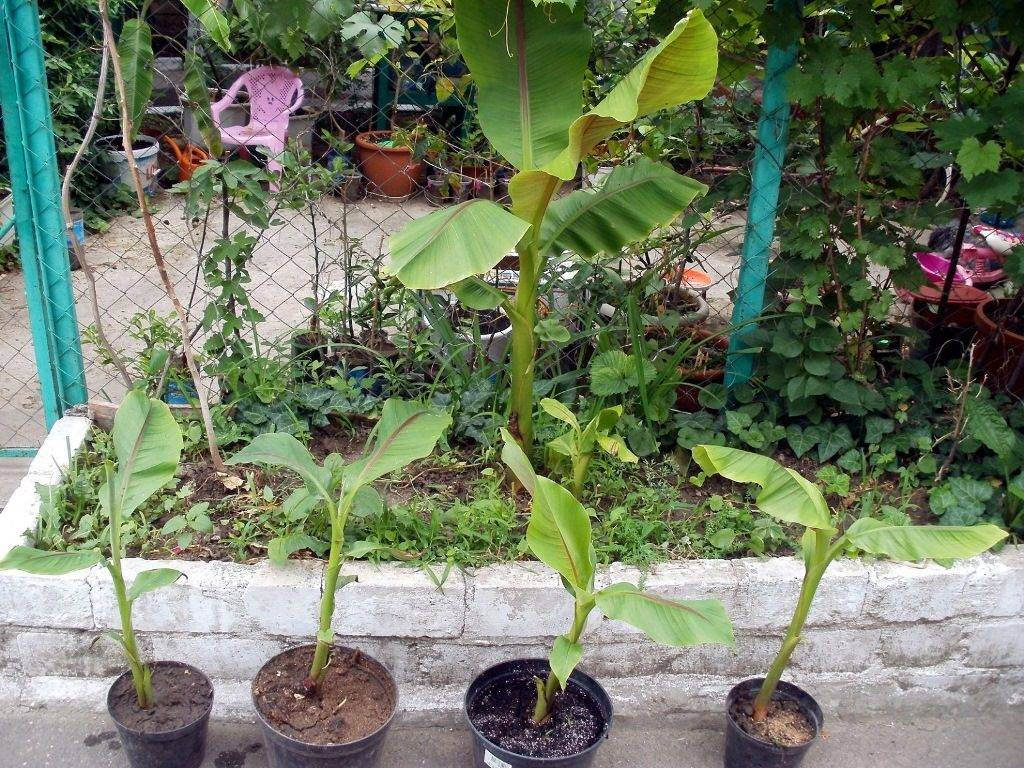 Выращивание бананов из семян в домашних условиях