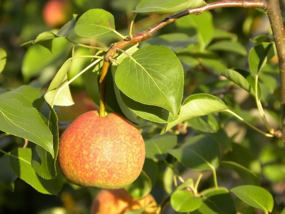 Высокорослая груша сорта Яблоковидная
