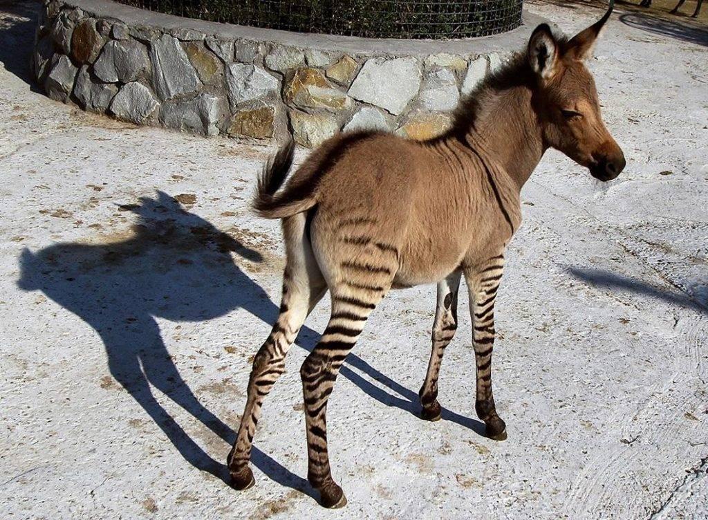 Гибрид зебры и осла