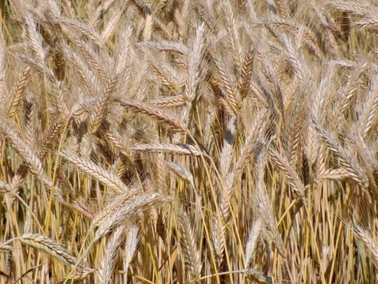 Гибрид пшеницы и ржи (тритикале) фото