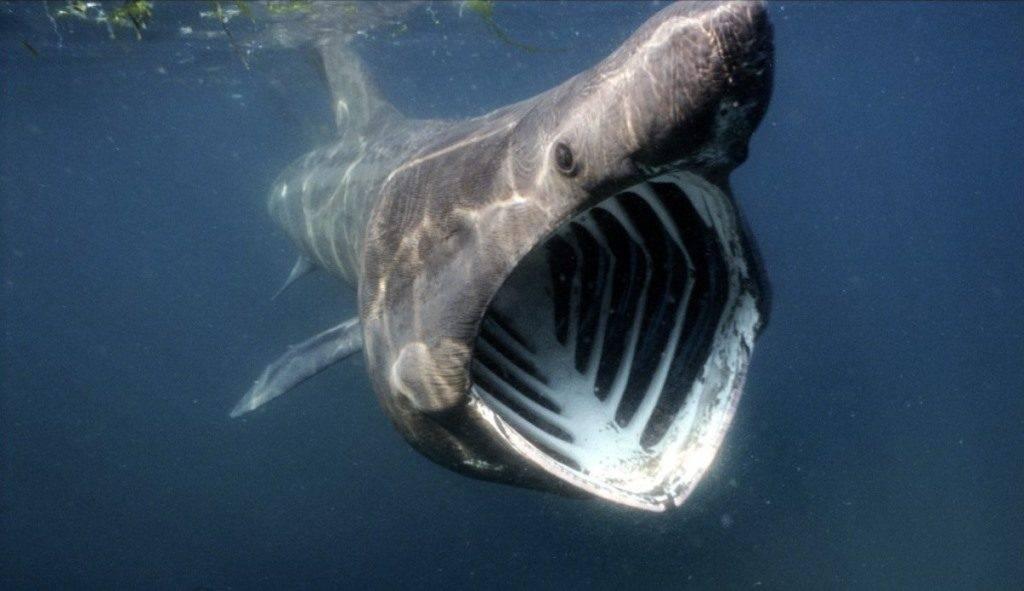 Гигантская (исполинская) акула (лат. Cetorhinus maximus)