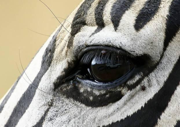Глаза зебры фото