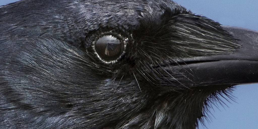 Глаз вороны